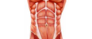 Zoom sur les différents muscles qui composent les abdominaux