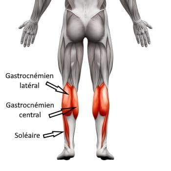 muscles des mollets